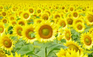 Closeup of a bright yellow sunflowers